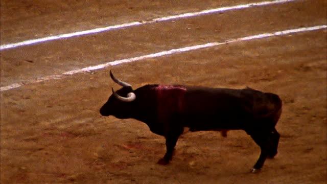 Schwere männliche Kuh in einer Bull Kampf