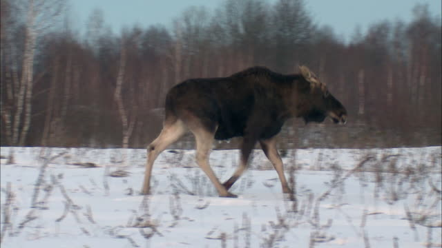 Injured moose and white-tailed eagle