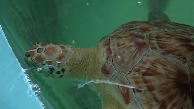 Injured Sea Turtle is Nursed Back to Health on South Padre Island, Texas