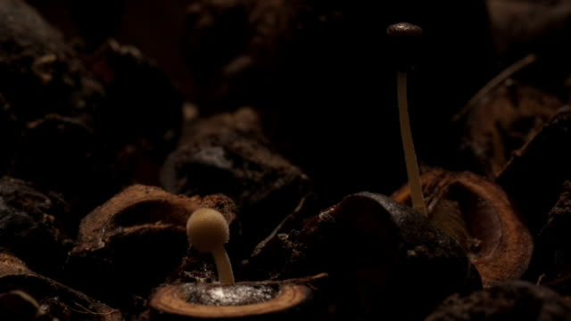 ink cap mushrooms sprout from the forest floor then wither and die. available in hd. - woodland stock videos & royalty-free footage