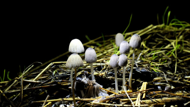 """ink cap mushrooms, timelapse"" - mushroom stock videos & royalty-free footage"