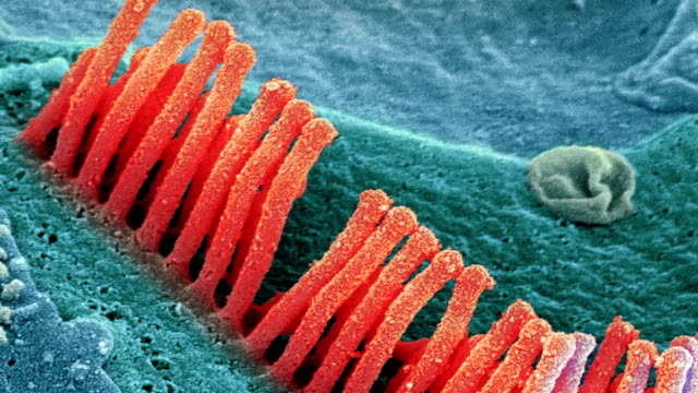 """inner ear hair cells, sem"" - hair follicle stock videos and b-roll footage"