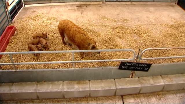 inquiry into e.coli outbreak at godstone farm: report published; england: surrey: godstone farm: int farm worker along next to pig and piglets in pen... - 身体症状点の映像素材/bロール