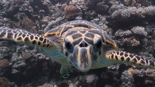 neugierige turtle - echte karettschildkröte stock-videos und b-roll-filmmaterial