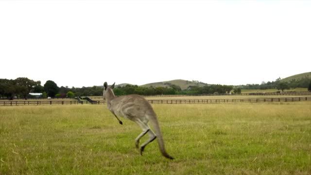 insane kangaroo drone's footage - カンガルー点の映像素材/bロール