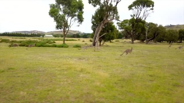insane kangaroo drone's footage - australia video stock e b–roll