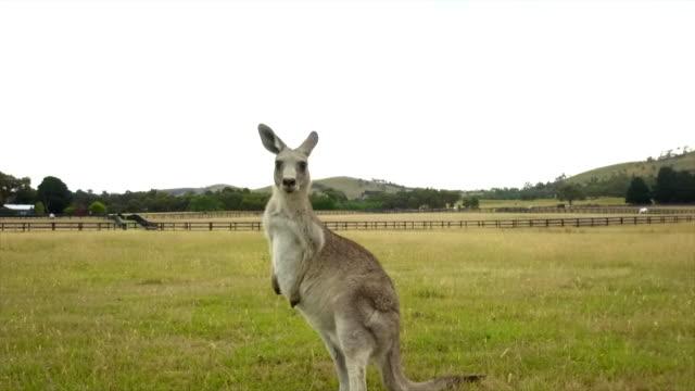 vídeos de stock, filmes e b-roll de insane kangaroo drone's footage - marsupial