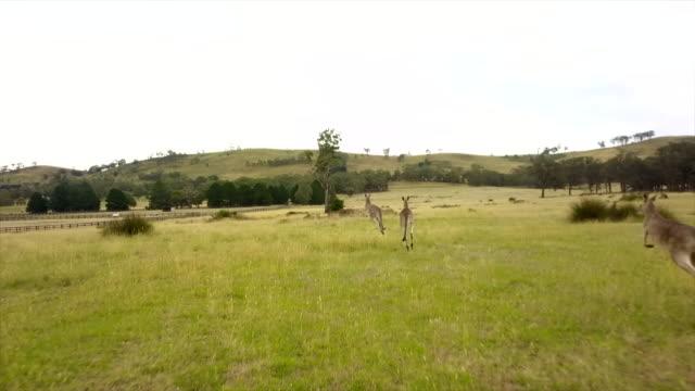 insane kangaroo drone's footage - känguru bildbanksvideor och videomaterial från bakom kulisserna