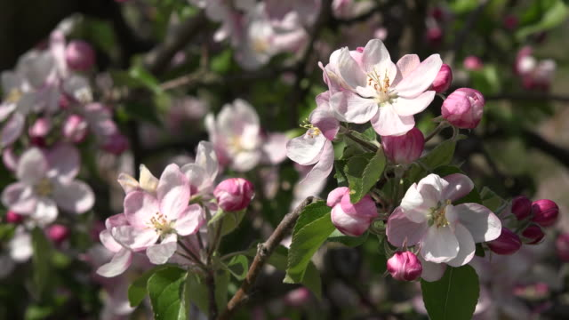 insect buzzes around fruit tree blooms - buzzing stock videos & royalty-free footage