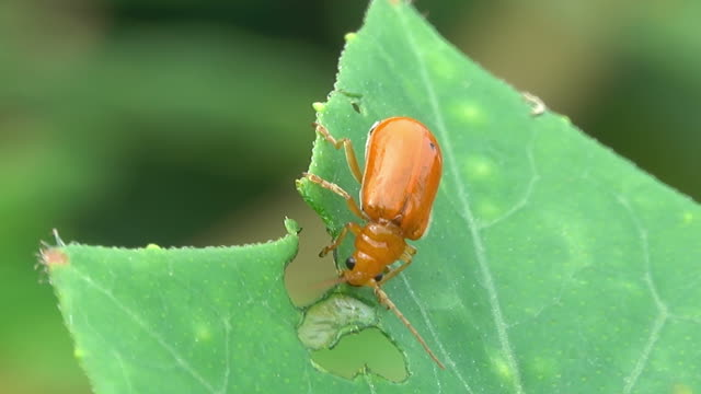 insect eating a plant leaf - leaf stock videos & royalty-free footage