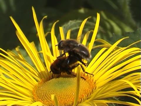 stockvideo's en b-roll-footage met insect sex - parende dieren