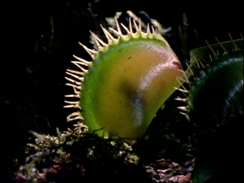 insect trapped inside venus fly trap, uk - atmosphere filter stock-videos und b-roll-filmmaterial