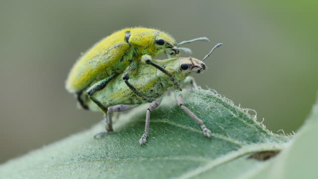 Insects breeding on green leaf.