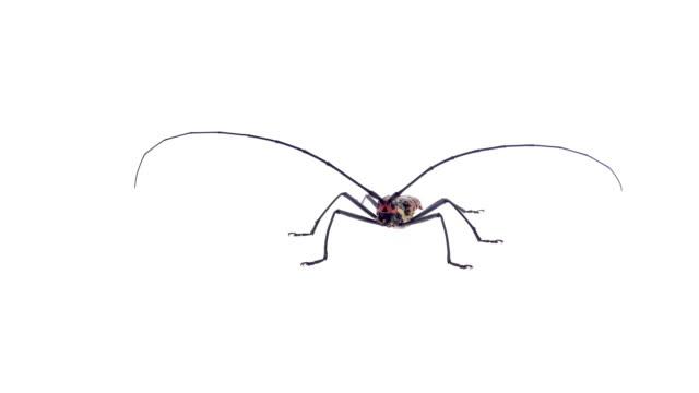 Insekten-Wanze auf weißem Hintergrund