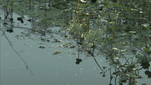 Insects buzzing in swamp.