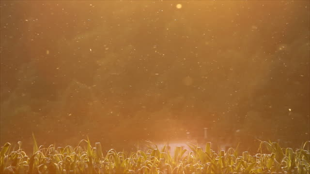 stockvideo's en b-roll-footage met insects circulating above the corn field - vuurvliegje