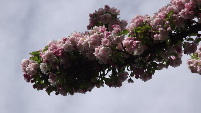 Insects fly around branch with pink flowers