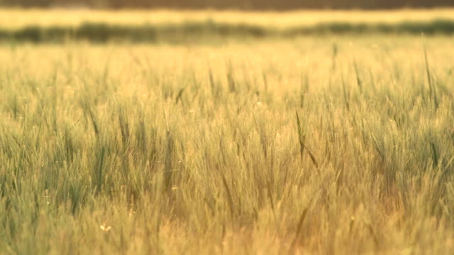 insects fly over wheat crop in field, scotland, uk - inquadratura fissa video stock e b–roll