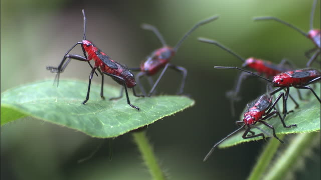vidéos et rushes de insects groom themselves on leaves. - insecte