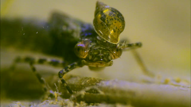insects with pond snail in its hair under water - 無脊椎動物点の映像素材/bロール