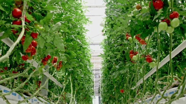 ws 中のトマト植物の温室 - 栽培する点の映像素材/bロール