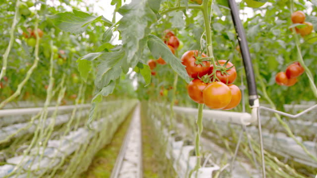 ds inside of a tomato growing greenhouse - greenhouse stock videos & royalty-free footage