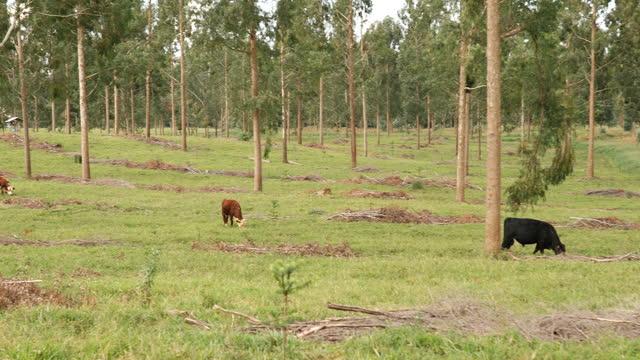 vidéos et rushes de système agricole intégré élevage et forêt - arbre tropical