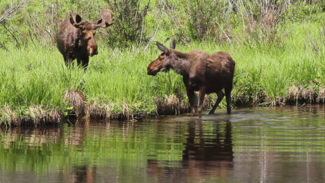 ms interaction between bull and cow moose at beaver pond / grand lake, colorado, united states - two animals stock videos & royalty-free footage
