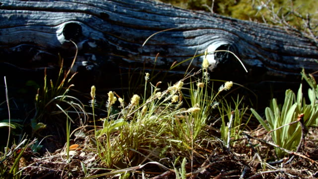 stockvideo's en b-roll-footage met interesting yellow grassy shrub grass by log in forest meadow macro 1 mt. hood spring forest oregon cascade mountains - pacific crest trail