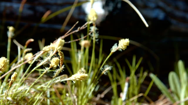 stockvideo's en b-roll-footage met interesting yellow grassy shrub grass by log in forest meadow macro 2 mt. hood spring forest oregon cascade mountains - pacific crest trail