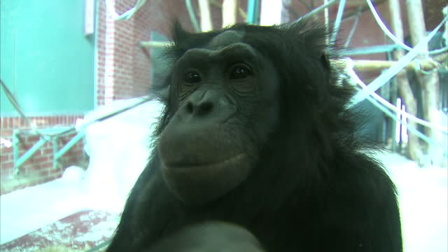 interior close up shots of a bonobo ape eating celery in zoo enclosure on march 08, 2016 at twycross zoo, england. twycross zoo, which is the only... - celery stock videos & royalty-free footage