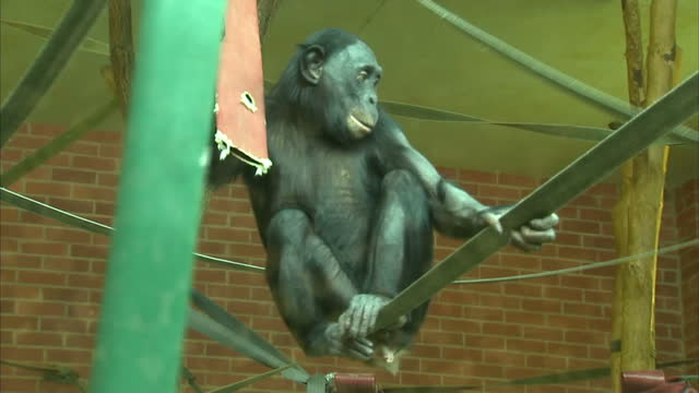 Interior close up shots of a Bonobo in zoo enclosure wide shots of Bonobo balancing on climbing ropes on March 08 2016 at Twycross Zoo England...