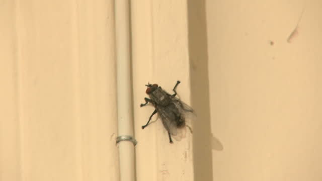 vídeos y material grabado en eventos de stock de interior close up shots of huge house fly on cream painted wall, walking on wall in london, england on thursday 10th august 2017. - mosca insecto