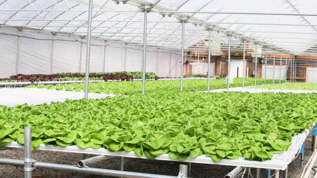 WS DS Interior of Hydroponic Lettuce Farm Greenhouse / Richmond, Virginia, United States