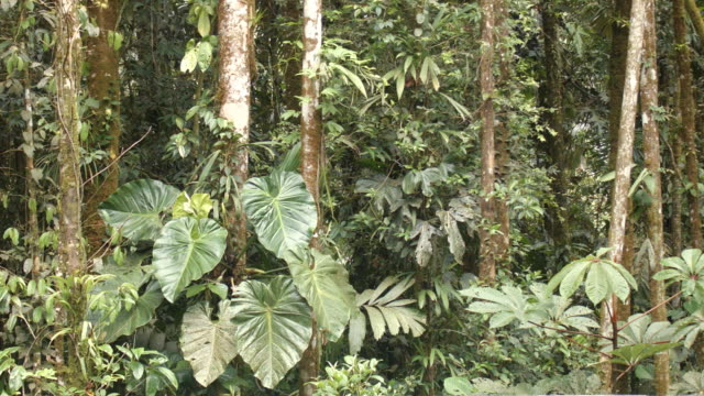 Interior of tropical rainforest, Ecuador with large Philodendron leaves moving in the breeze