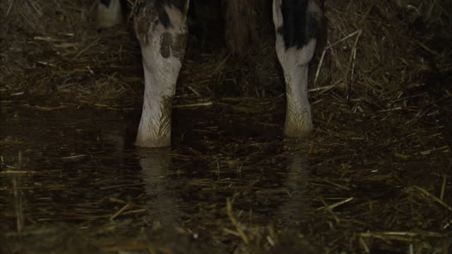 interior shots hereford bulls in flooded cattle barn standing in deep puddles of water on in somerset united kingdom - cattle stock videos & royalty-free footage