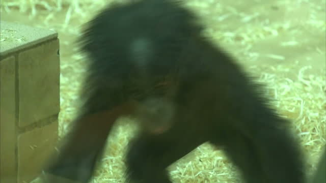 Interior shots of a baby bonobo running around in zoo enclosure on March 08 2016 at Twycross Zoo England Twycross Zoo which is the only zoo in the UK...