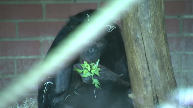 Interior shots of a Bonobo ape eating broccoli in zoo enclosure on March 08 2016 at Twycross Zoo England Twycross Zoo which is the only zoo in the UK...