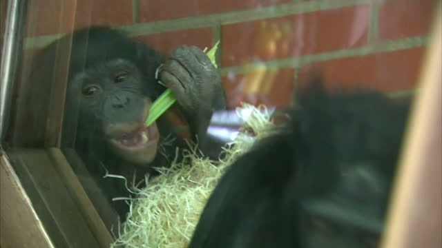 Interior shots of a Bonobo Ape eating celery inside zoo enclosure and people looking in through glass on March 08 2016 at Twycross Zoo England...
