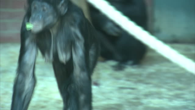 Interior shots of a bonobo ape swinging on ropes inside zoo enclosure on March 08 2016 at Twycross Zoo England Twycross Zoo which is the only zoo in...