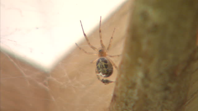 interior shots of a false widow spider aka steatoda nobilis on a web on september 24 2015 in london england - arachnophobia stock videos and b-roll footage