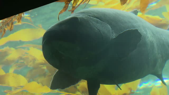 stockvideo's en b-roll-footage met interior shots of a giant kelp fish swimming in an aquarium tank on january 24 2017 in san diego ca - afvalverwerking