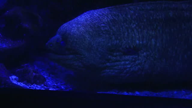 vídeos de stock, filmes e b-roll de interior shots of a huge deep sea marine fish in a large aquarium on january 24, 2017 in san diego, ca. - vida no mar