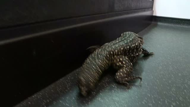 Interior shots of a monitor lizard crawling on the floor of a rescue centre for exotic abandoned pets on December 21 2016 in Birmingham England