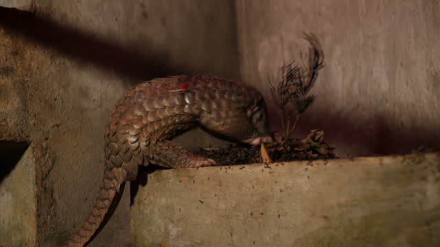 interior shots of a pangolin in its enclosure eating from a concrete trough containing a mass of large ants on february 23, 2015 in hanoi, vietnam. - pangolino video stock e b–roll