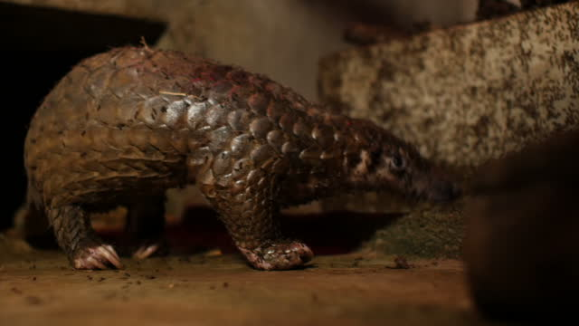 interior shots of a pangolin walking around its enclosure and eating ants on february 23 2015 in hanoi vietnam - enclosure stock videos and b-roll footage