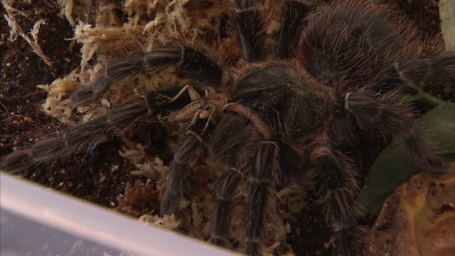 interior shots of a pet tarantula spider in a plastic box and being handled by its owner on september 25, 2015 in belfast, northern ireland. - arachnophobia stock videos & royalty-free footage