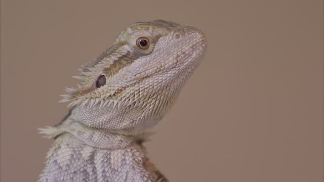 Interior shots of a Rankin's Dragon Lizard inside a glass habitat on May 15 2015 in Brighton England