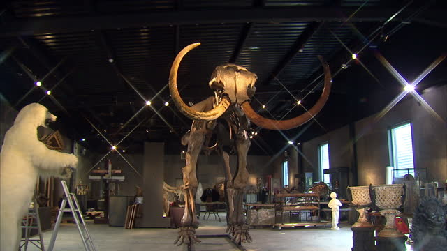 interior shots of a rare nearly complete woolly mammoth skeleton, amongst other lots in summers place auction house, shows tracking and panning shots... - animal skeleton stock videos & royalty-free footage