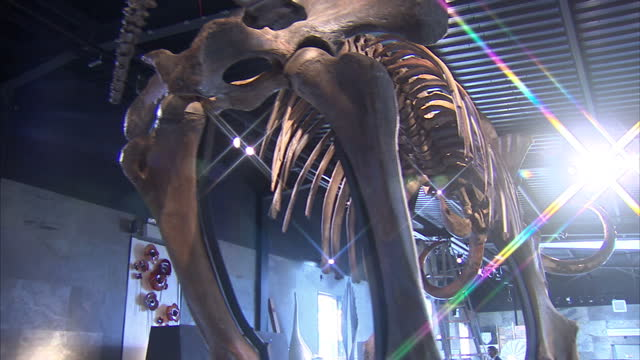 stockvideo's en b-roll-footage met interior shots of a rare nearly complete woolly mammoth skeleton amongst other lots in summers place auction house shows tracking and panning shots... - for sale korte frase